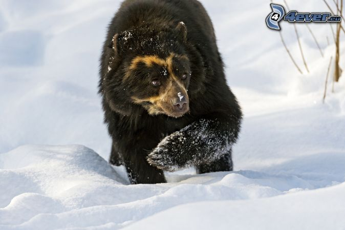 black-bear-snow-237327