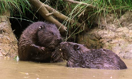 beavers-007
