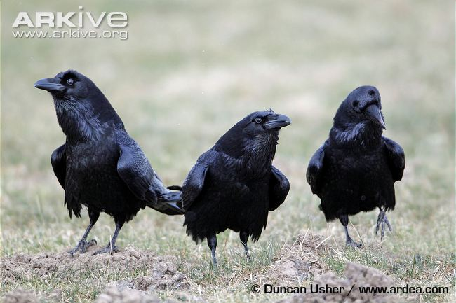 three-ravens-in-courtship-display
