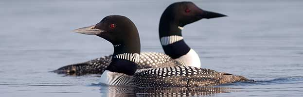 common_loon