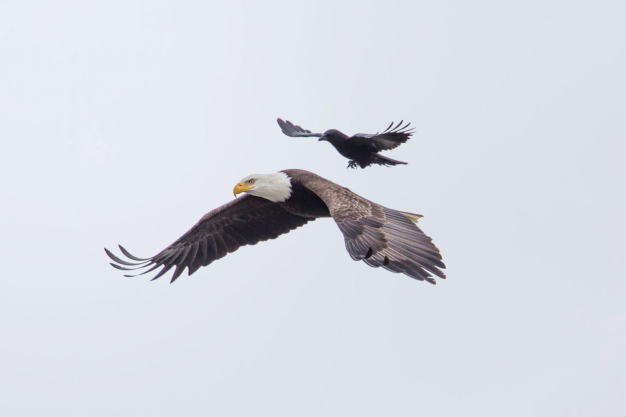 Crow Rides Eagle
