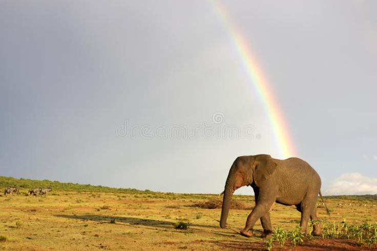 african-elephant-rainbow-south-africa-lonely-bull-crosses-grass-plains-dark-storm-clouds-as-background-56027644