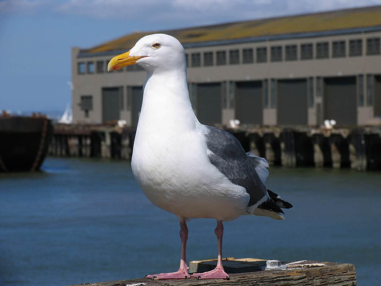 seagull-beak