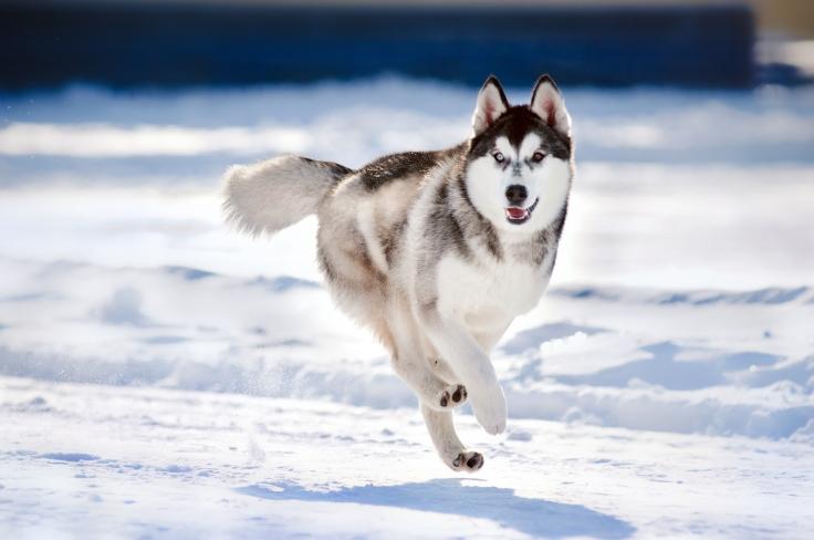 cute dog hasky running in winter