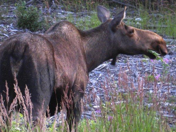 4082807-female-moose-cow-0