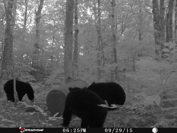 bears-trail-camera-nova-scotia
