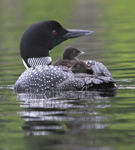 6-28-10-common-loon-and-chicks-img_2797