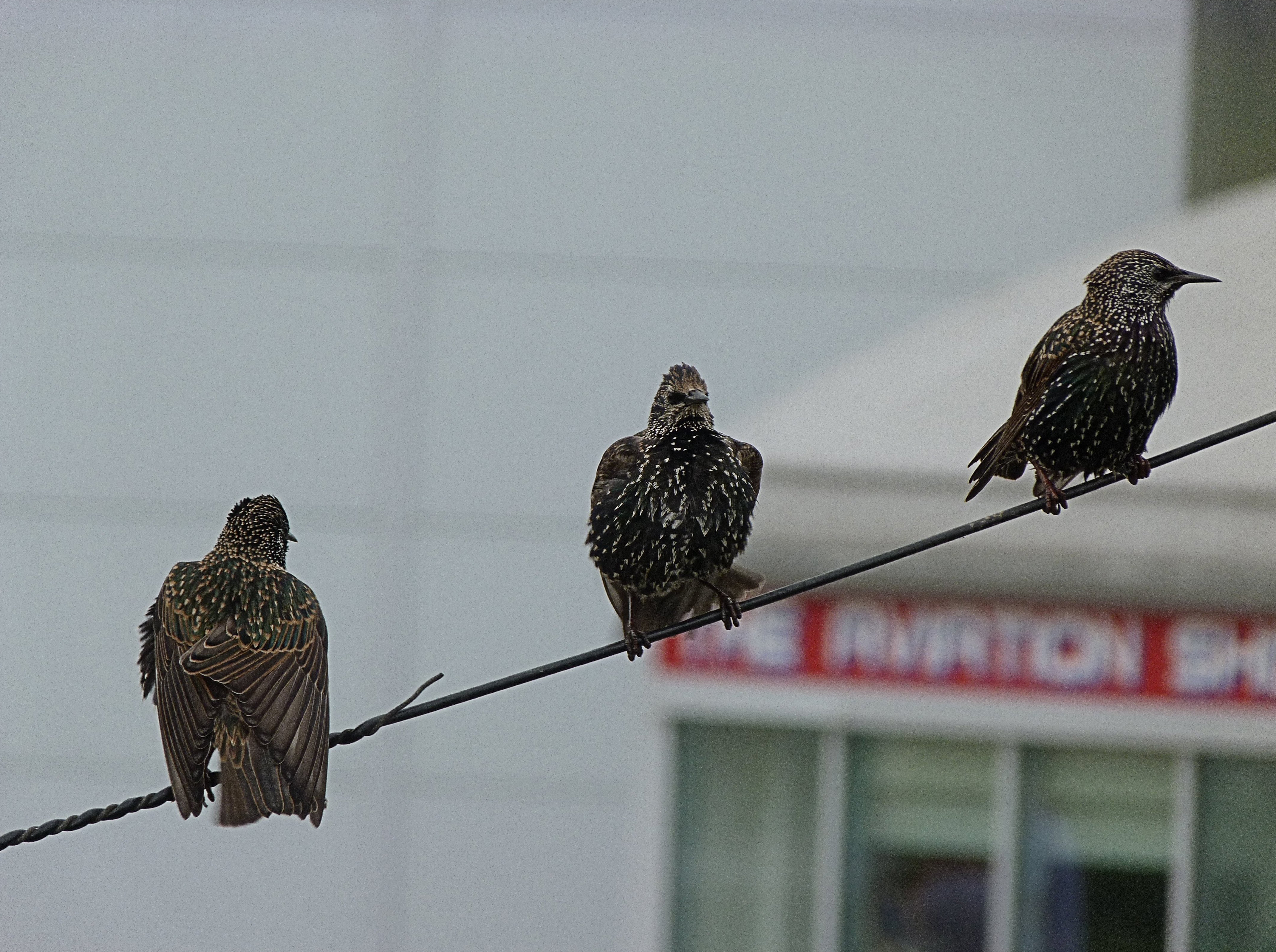 3_birds_on_a_wire__6810543956